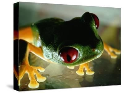 Close-up of a Red-Eyed Tree Frog-Paul Zahl-Stretched Canvas Print