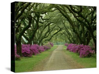 A Beautiful Pathway Lined with Trees and Purple Azaleas-Sam Abell-Stretched Canvas Print