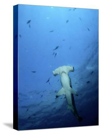 A Scalloped Hammerhead Shark Photographed from Beneath-Wolcott Henry-Stretched Canvas Print