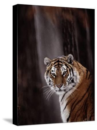 Siberian Tiger (Panthera Tigris Altaica)-Dr^ Maurice G^ Hornocker-Stretched Canvas Print
