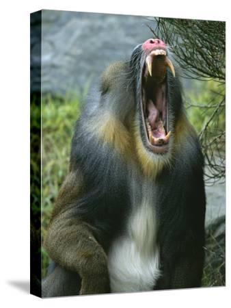 A Yawning Mandrill-Roy Toft-Stretched Canvas Print