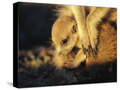 A Baby Meerkat Snuggles up to its Caretaker for Warmth and Safety-Mattias Klum-Stretched Canvas Print