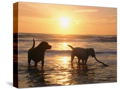 Labrador Retrievers Play in the Water at Sunset-Roy Toft-Stretched Canvas Print