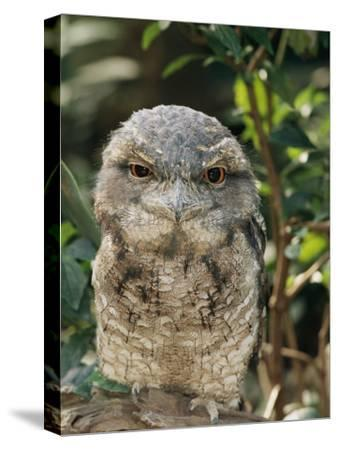 Tawny Frogmouth Bird-George Grall-Stretched Canvas Print