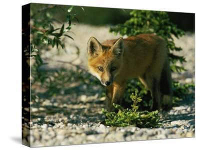 Juvenile Red Fox-Norbert Rosing-Stretched Canvas Print