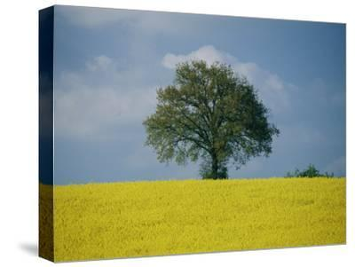 A Scenic View of Bright Yellow Rape Fields with a Single Green Tree at the Top of a Hill-Todd Gipstein-Stretched Canvas Print