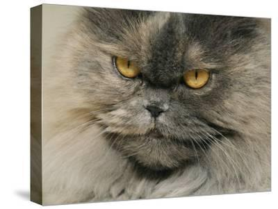 Close View of a Grey Himalayan Cat-Brian Gordon Green-Stretched Canvas Print