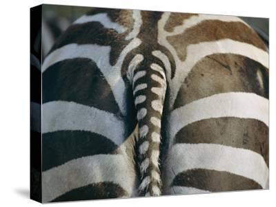 Close View of a Grants Zebras Rear End-Joel Sartore-Stretched Canvas Print
