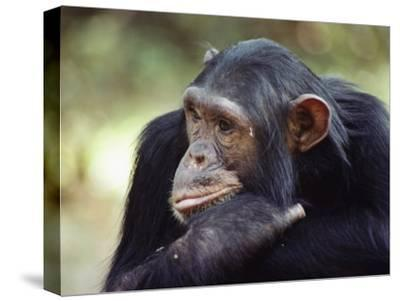 A Close-up of One of the Many Chimpanzees That were Studied by Researcher Jane Goodall-Kenneth Love-Stretched Canvas Print