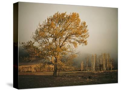 Golden Sunlit Tree in the Mist-Sisse Brimberg-Stretched Canvas Print