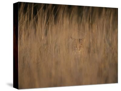 A Bobcat Hides in the Overgrowth-Roy Toft-Stretched Canvas Print