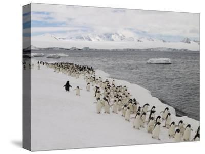 Chin Strap Penguins March Along the Icy Coast of Antarctica-Ralph Lee Hopkins-Stretched Canvas Print