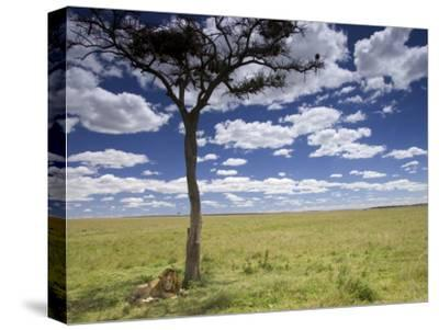 A Male Lion Beneath a Lone Acacia Tree on Open Grassland (Panthera Leo)-Roy Toft-Stretched Canvas Print