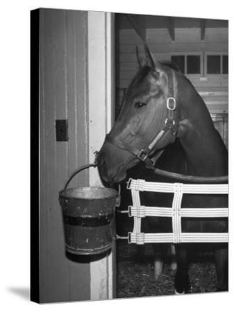 Citation in Stall-Tony Linck-Stretched Canvas Print