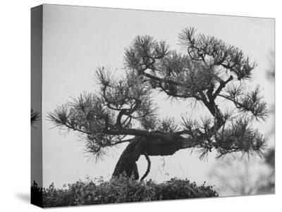 Japanese Pine Trees, Dwarfed and Shaped in Japanese Fashion, at Brooklyn Botanic Garden-Gordon Parks-Stretched Canvas Print