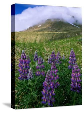 Beautiful Flowers Spring up Around the Base of a Mountain-Barry Tessman-Stretched Canvas Print
