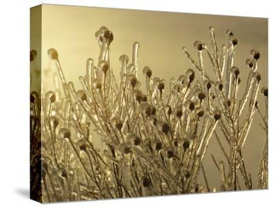 Plants Encased in Ice-Sam Abell-Stretched Canvas Print