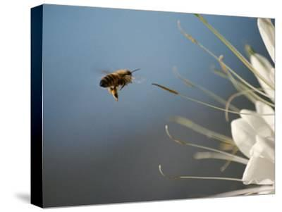 Seen Frozen in Flight, a Bee Carries Pollen Towards a Big White Flower-Stephen St^ John-Stretched Canvas Print