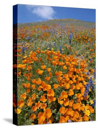California Poppies and Lupines Fill a Landscape with a Golden Glow-Rich Reid-Stretched Canvas Print