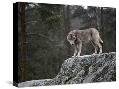Wolf on Rock-Mattias Klum-Stretched Canvas Print