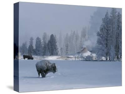 Snow Dusted American Bison Forage Near a Steaming Geyser-Tom Murphy-Stretched Canvas Print