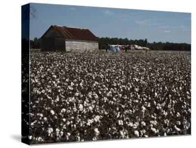 A Cotton Field Surrounds a Small Building and Clothesline-Medford Taylor-Stretched Canvas Print