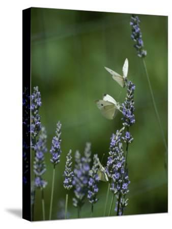 Butterflies on a Lavender Flower-Taylor S^ Kennedy-Stretched Canvas Print