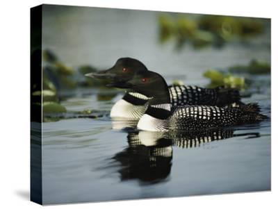 Close View of a Mated Pair of Common Loons Swimming in Tandem-Michael S^ Quinton-Stretched Canvas Print