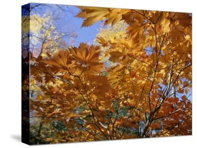 Brilliant Yellow Japanese Maples (Acer Japonicum) Exhibit Fall Colors-Darlyne A^ Murawski-Stretched Canvas Print