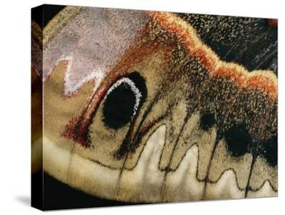 A Close up of a Cecropia Moths Wing-Darlyne A^ Murawski-Stretched Canvas Print