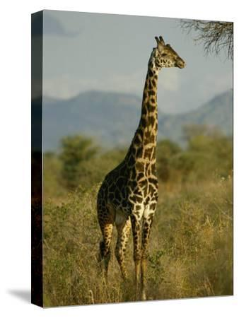 A Giraffe in the Wild-Michael Fay-Stretched Canvas Print