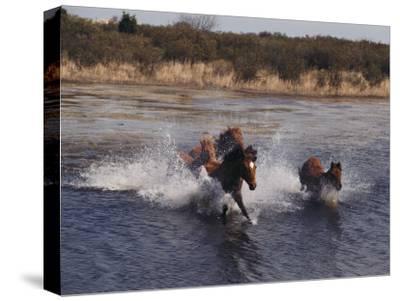 Wild Chincoteague Ponies Swim the Assateague Channel-Medford Taylor-Stretched Canvas Print
