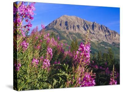 Fireweed and Mt. Gothic near Crested Butte, Colorado, USA-Julie Eggers-Stretched Canvas Print
