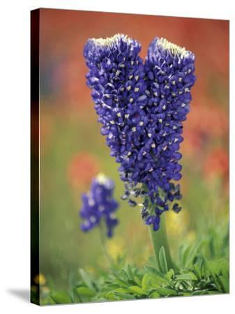 Double-Flowered Texas Bluebonnet, Hill Country, Texas, USA-Adam Jones-Stretched Canvas Print