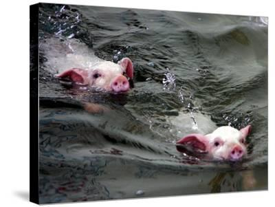 Pigs Compete Swimming Race at Pig Olympics Thursday April 14, 2005 in Shanghai, China-Eugene Hoshiko-Stretched Canvas Print
