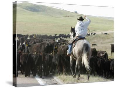 A Cow Hand Drives Cattle--Stretched Canvas Print