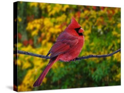 Male Northern Cardinal in Autumn-Adam Jones-Stretched Canvas Print