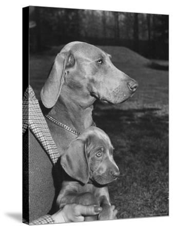 Champion Weimaraner and her 8-week-old male puppy with proud owner Mrs. Harold Goldsmith.-Bernard Hoffman-Stretched Canvas Print