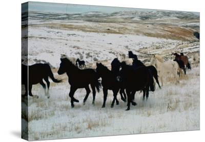 Wild Mustang Horses Running Across Field in Wyoming and Montana-Bill Eppridge-Stretched Canvas Print