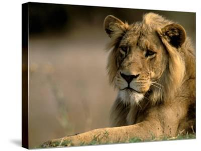 Lioness, Rare Maned Female, Okavango Delta, Botswana-Pete Oxford-Stretched Canvas Print