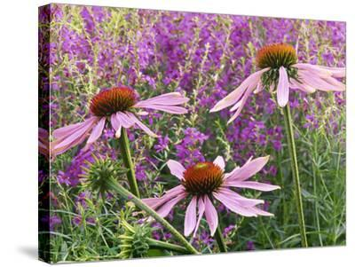 Echinacea Purpurea Magnus and Lythrum Virgatum (Purple Conflower and European Wand Loosestrife)-Michael Davis-Stretched Canvas Print