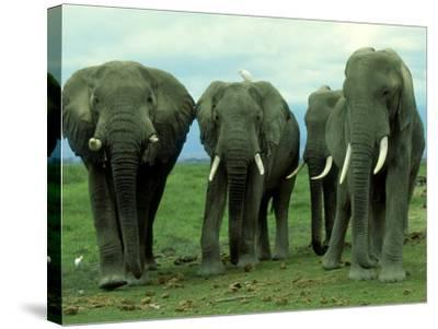 Elephants, Group of Bulls, Kenya-Martyn Colbeck-Stretched Canvas Print