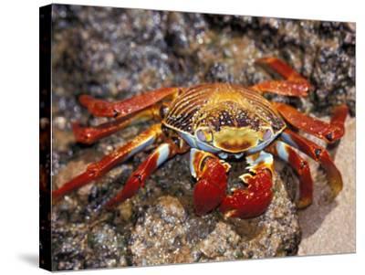 Sally Lightfoot Crab on the Galapagos Islands, Ecuador-Stuart Westmoreland-Stretched Canvas Print