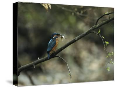 River Kingfisher Sitting on a Tree Branch with a Fish in its Bill-Klaus Nigge-Stretched Canvas Print