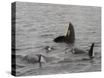 A Killer Whale Pod in Johnstone Strait-Ralph Lee Hopkins-Stretched Canvas Print