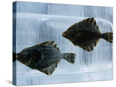 Pair of Fish Frozen in Ice for the Sapporo Yuki Matsuri (Snow Festival), Sapporo, Hokkaido, Japan,-Oliver Strewe-Stretched Canvas Print