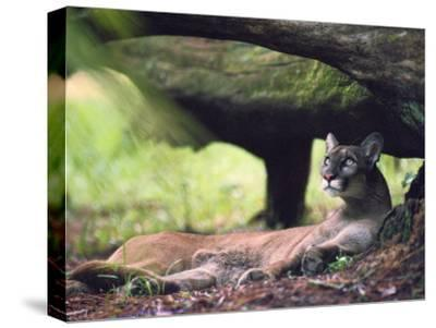A Florida panther-Melissa Farlow-Stretched Canvas Print