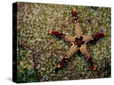 A Red-Tipped Sea Star on a Coral Bed-Tim Laman-Stretched Canvas Print