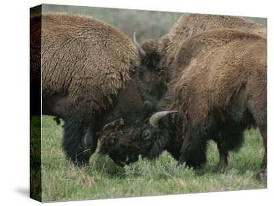 American Bison Spar During the Summer Mating Season-Norbert Rosing-Stretched Canvas Print