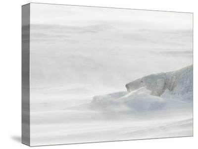 Polar Bear Sleeping in Drifting Snow-Norbert Rosing-Stretched Canvas Print